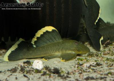 L047 Magnum Harnischwels - Baryancistrus chrysolomus