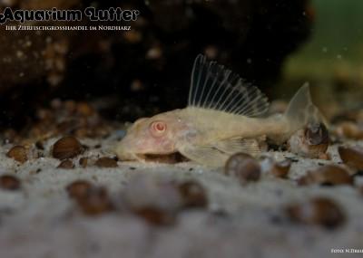 L165 Waben Schilderwels Gold - Glyptoperichthys gibbiceps