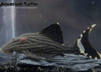 L190 Schwarzlinienharnischwels - Panaque cf. nigrolineatus