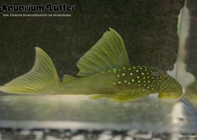 L200 Goldgrüner Saugwels Hifin - Baryancistrus demantoides