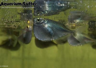 Riesen Beilbauchfisch - Thoracocharax stellatus