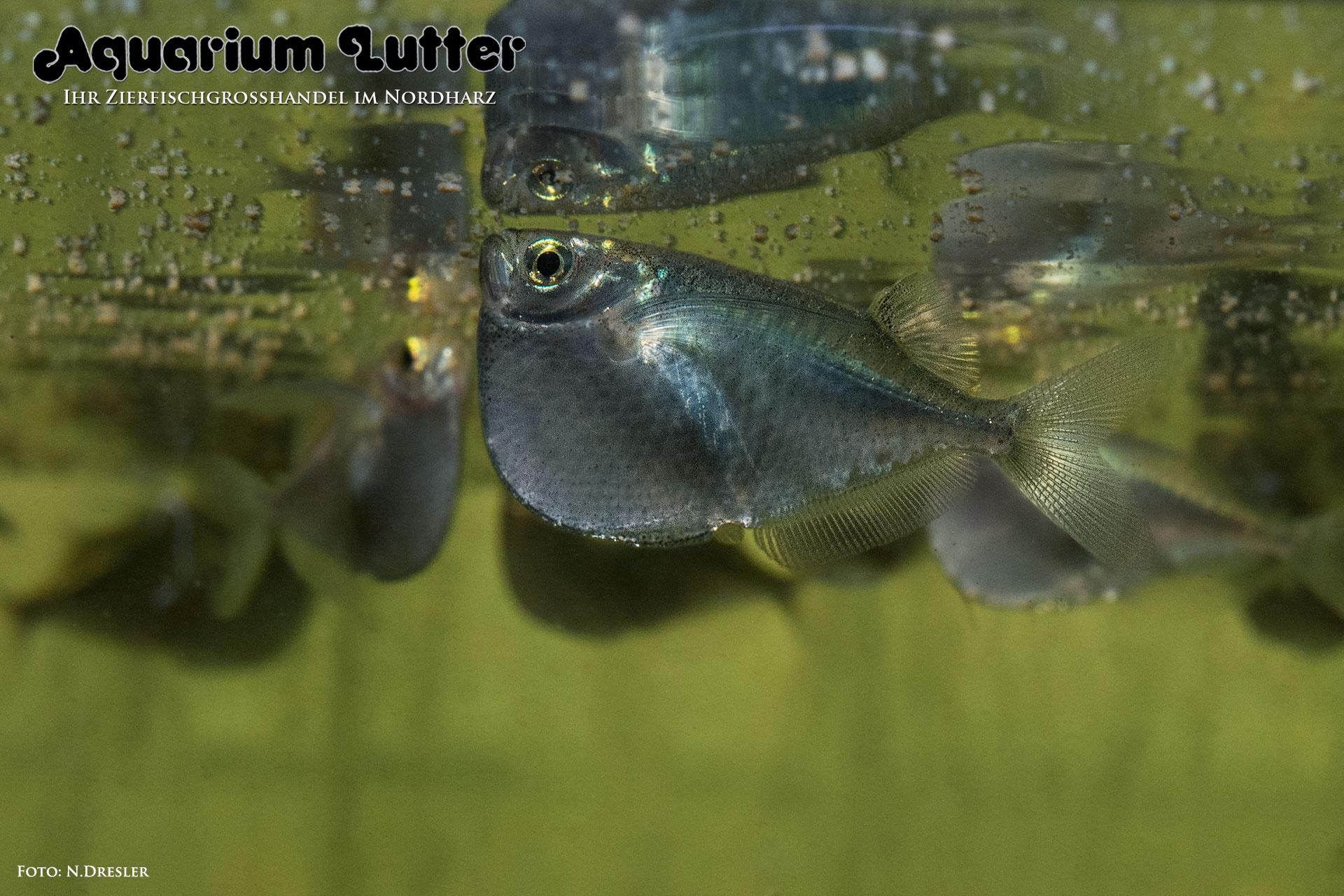 Riesenbeilbauchfisch – Thoracocharax stellatus