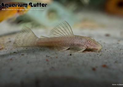 Albino Antennenwels - Ancistrus dolichopterus