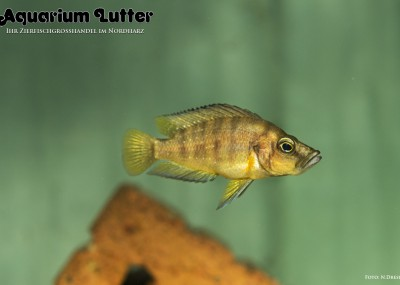 Nanderbuntbarsch - Altolamprologus compressiceps GOLD