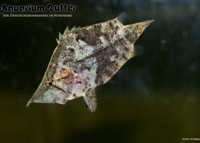 Blattfisch - Monocirrhus polyacanthus