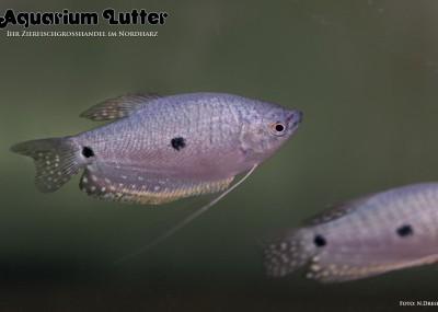 Blauer Fadenfisch - Trichogaster trichopterus