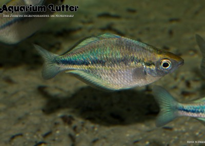 Aquamarin Regenbogenfisch - Melanotaenia lacustris