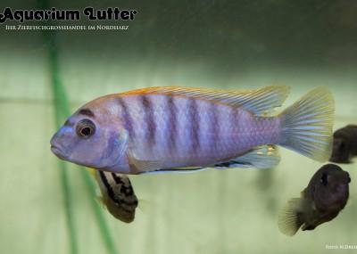 Blauer Rotrücken Labidochromis - Labidochromis hongi-red top
