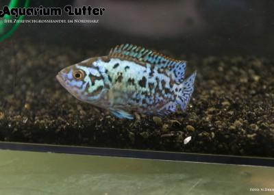 Blue Jack Dempsey Buntbarsch - Cichlasoma octofasciatum blue dempsey