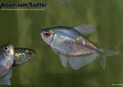 Brillantsalmler - Moenkhausia pittieri