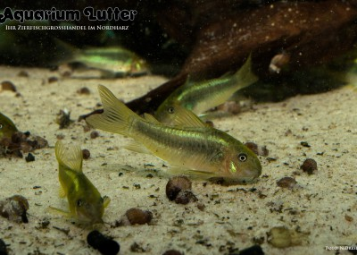 Bronzener Panzerwels - Corydoras melanotaenia greenstripe