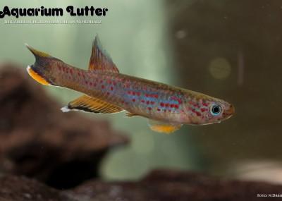 Bunter Prachtkärpfling - Aphyosemion australe