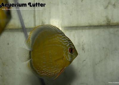 Diskus Blauer Uatuman - Symphysodon aequifasciatus
