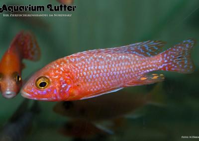 Feuerfisch Kaiserbuntbarsch - Aulonocara sp. fire fish