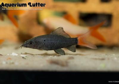 Feuerschwanz Fransenlipper - Epalzeorhynchus bicolor