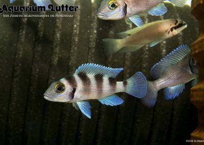 Fünfstreifen Tanganjikasee Buntbarsch-Neolamprologus tretocephalus