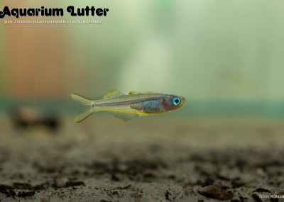Gabelschwanz Regenbogenfisch - Pseudomugil furcata