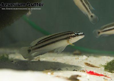 Gelber Schlankcichlide - Julidochromis ornatus
