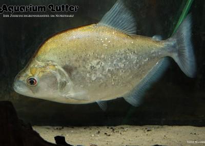 Violetstreifen Piranha - Serrasalus gery
