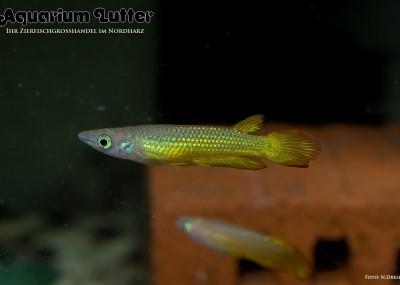 Gold Streifenhechtling - Aplocheilus lineatus gold