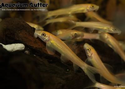 Goldene Saugschmerle Gyrinocheilus aymonieri