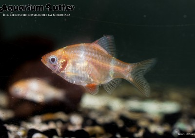 Goldene Sumatrabarbe - Barbus tetrazona