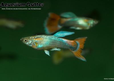 Guppy Männchen Blau Rot - Poecilia reticulata
