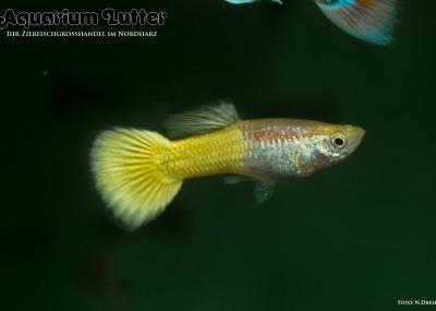 Guppy Männchen Neongelb - Poecilia reticulata