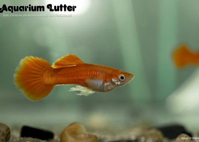 Guppy Männchen Neonrot - Poecilia reticulata