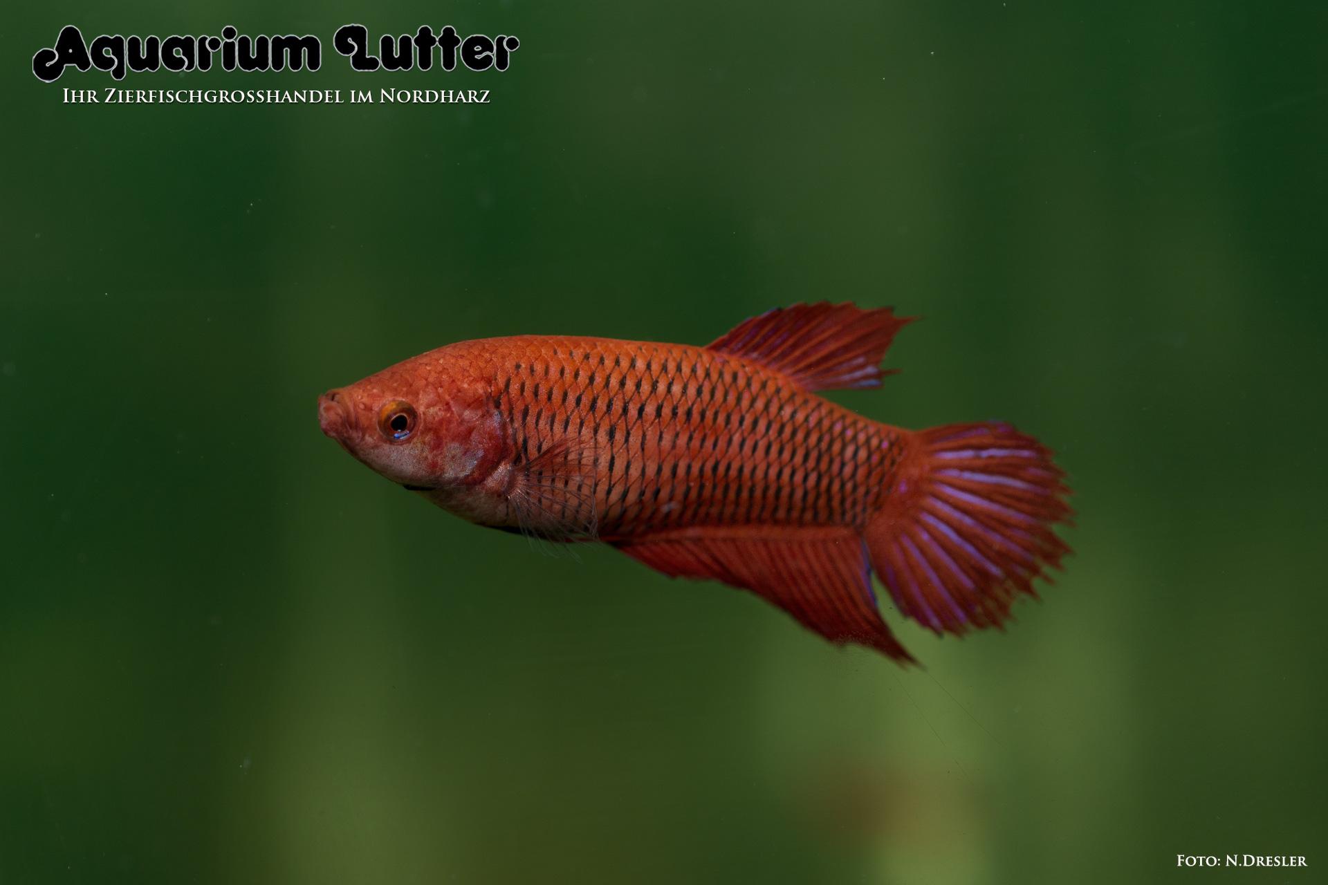Kampffisch weibchen betta splendens aquarium lutter for Kampffisch betta