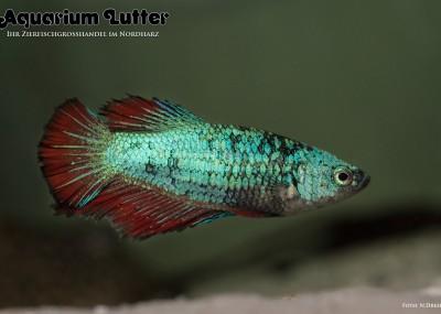 Kampffisch Weibchen Deluxe - Betta splendens