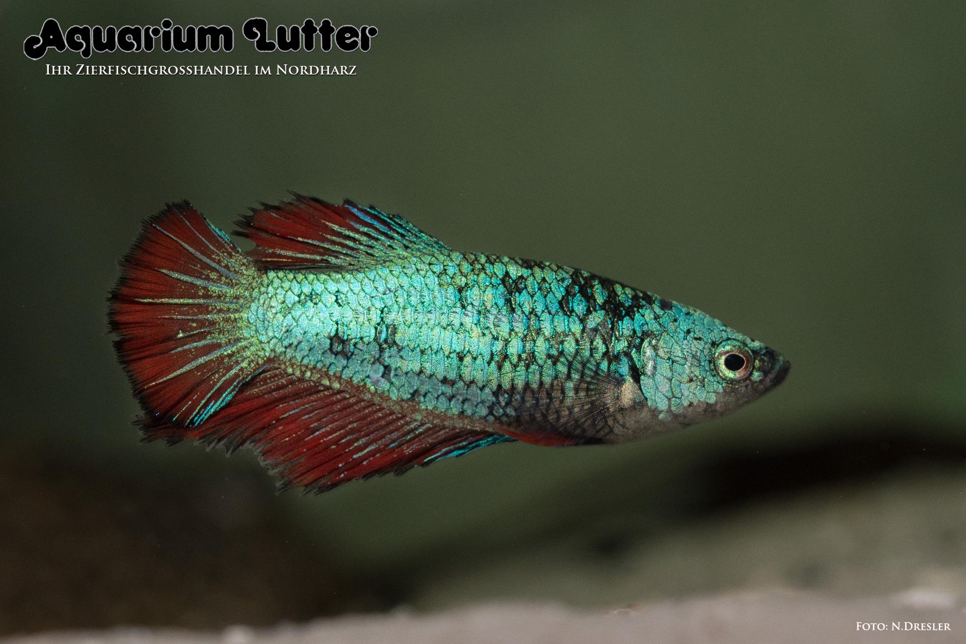 Kampffisch weibchen deluxe betta splendens aquarium for Kampffisch betta splendens