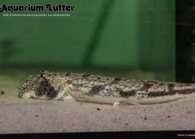 Katzenaugenschmerle - Somileptes gongota
