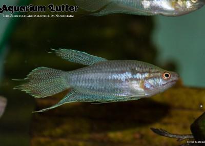 Knurrender Gurami - Trichopsis vittata