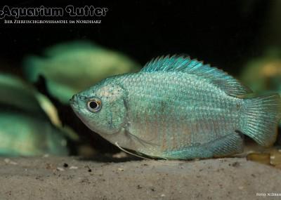 Kobaltblauer Zwergfadenfisch - Colisa lalia