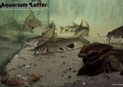 Kolumbianischer Mini Hai - Arius seemani