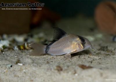Kopfbinden Panzerwels - Corydoras melini