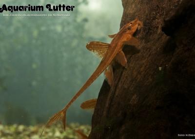 L10a Roter Hexenwels - Leliella sp.