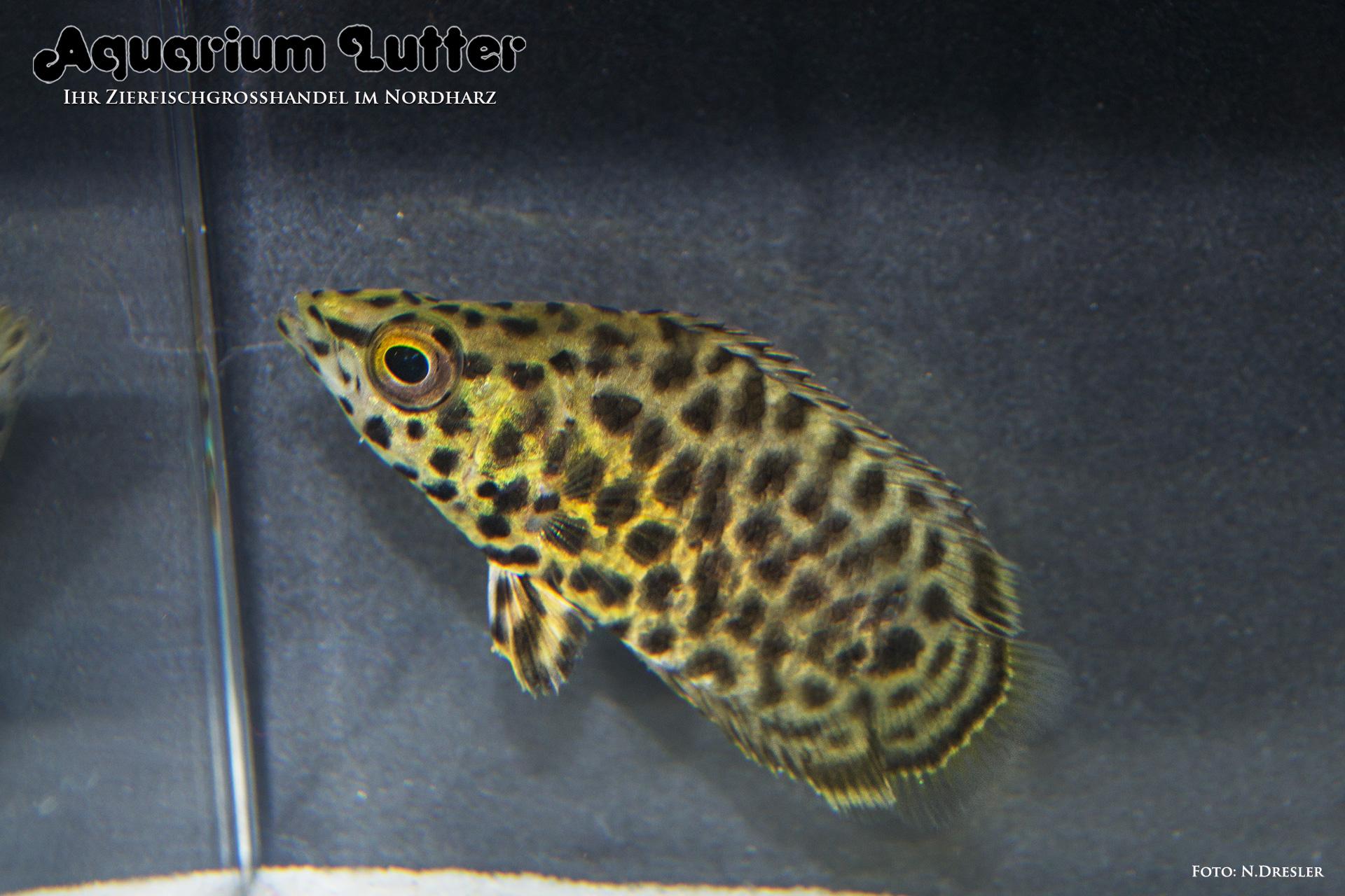 Leopard Buschfisch - Ctenopoma acutirostris