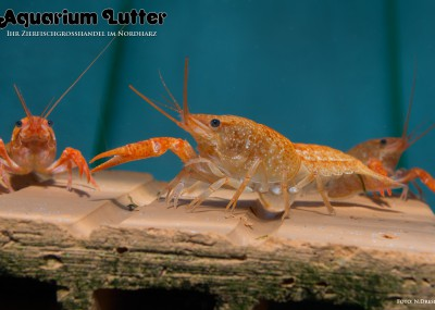 Louisianer Sumpfkrebs orange - Procambarus clarkii