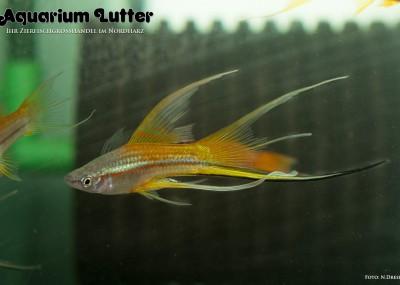 Lyra Schwertträger -Xiphophorus helleri