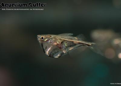 Marmorbeilbauchfisch - Carnegiella strigata strigata