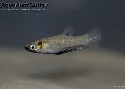 Metallkärpfling - Girardinus metallicus