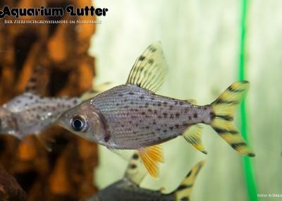 Nachtsalmler - Semaprochilodus taeniurus