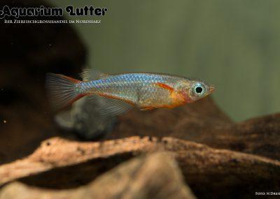 Neonreisfisch - Oryzias woworae