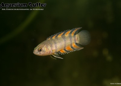 Orange Buschfisch - Microctenopoma ansorgii