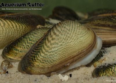 Ornamentmuschel - Scabies crispata