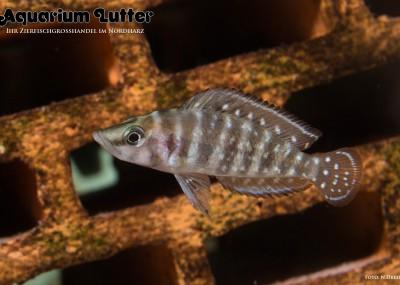 Perlhuhn Buntbarsch - Altolamprologus calvus