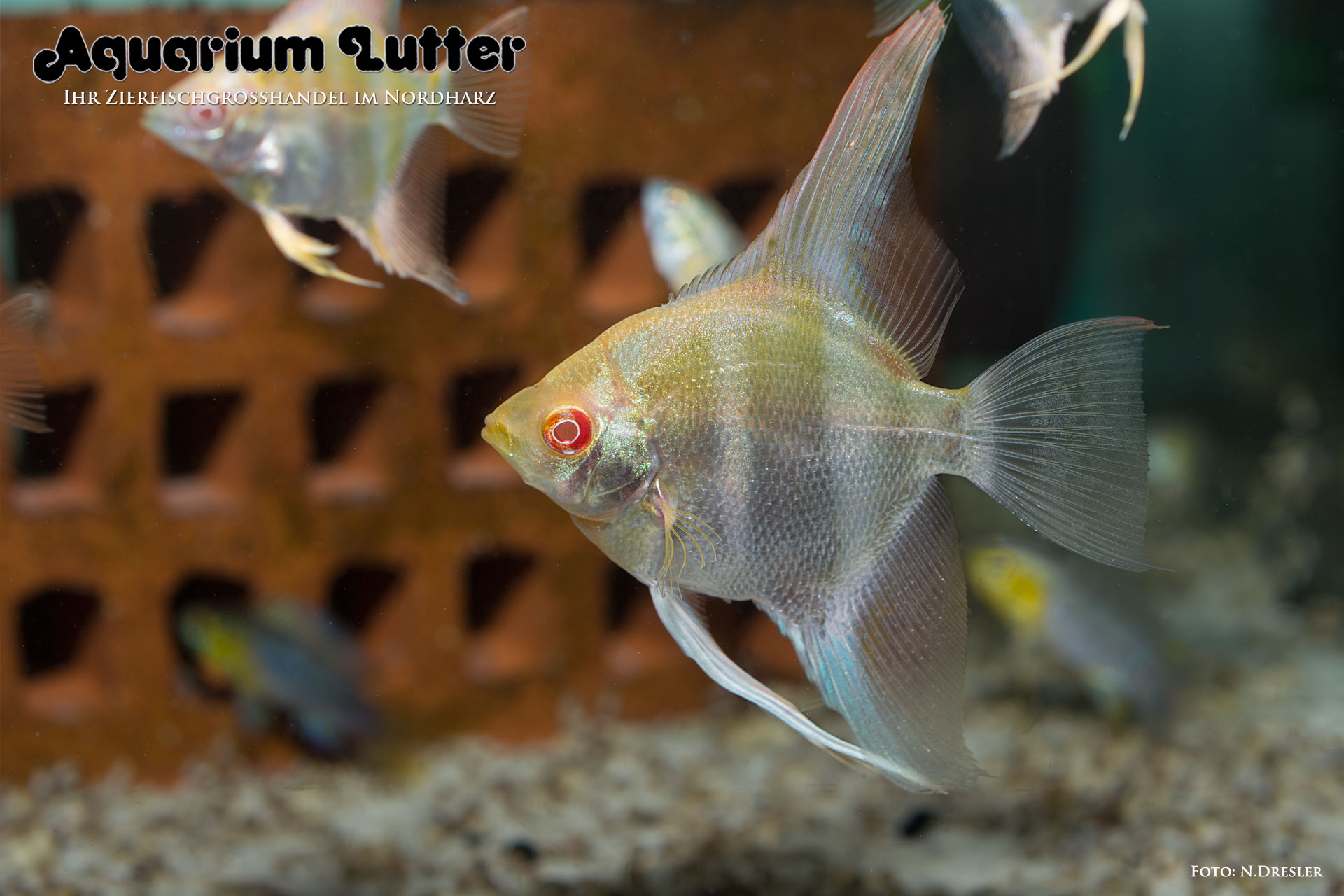 Aquarium lutter galerie amerikanische buntbarsche for Peru altum skalar