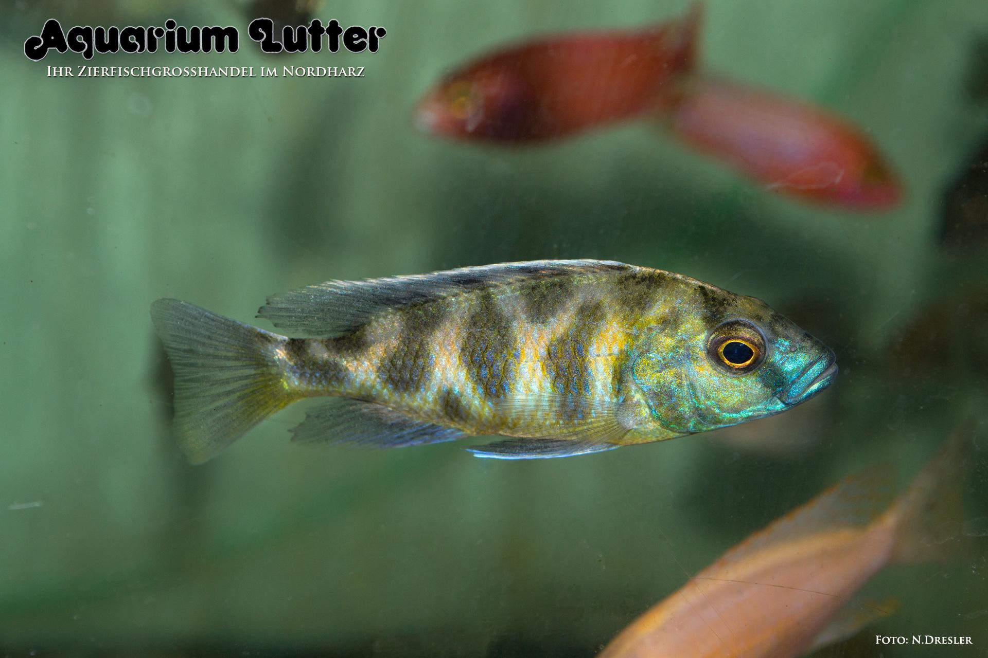 Pfauenmaulbrüter - Nimbochromis venustus